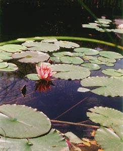 pond-lilly-pad-2002.jpg